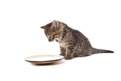 Cute small kitten screaming on milk plate Stock Photos