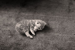 Cute small kitten Royalty Free Stock Photography
