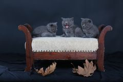 Cute small kittens meowing on a stool. British Shorthair kittens sitting on a vintage stool, against black background Royalty Free Stock Photos