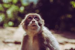 Cute small macaque monkey looking up while waiting for some food in Hongkong. Cute small macaque monkey looking up and wondering while waiting for some food in Stock Images