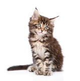 Cute small maine coon cat sitting in front. isolated on white Royalty Free Stock Image