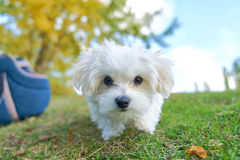 Cute small Maltese in front of a camera. Cute small Maltese in the park outdoor Stock Photo