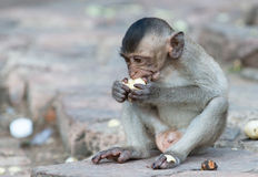 Cute small monkey eat banana Royalty Free Stock Images