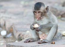 Cute small monkey eat banana Royalty Free Stock Image
