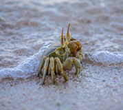 Cute small ocean crab covered by wave Royalty Free Stock Image