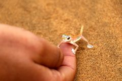 Palmatogecko on the hand - Namibia Africa stock image