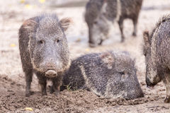 A Cute Small Peccary Stock Images