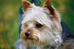 Cute small pet dog yorkshire terrier. Portrait of Cute small pet dog yorkshire terrier Royalty Free Stock Photo
