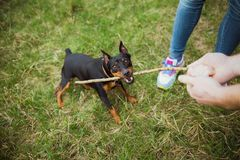 Cute small playful black miniature pinscher portrait. Funny dog playing happily outdoors with its owners. Horizontal color photography stock photos