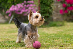 Cute small playful yorkshire terrier Stock Photography