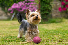 Cute small playful yorkshire terrier Royalty Free Stock Images