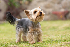 Cute small playful yorkshire terrier Royalty Free Stock Photos
