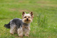 Cute small playful yorkshire terrier Stock Image