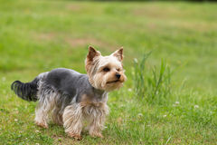 Cute small playful yorkshire terrier Royalty Free Stock Image