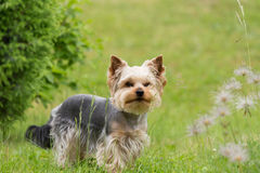 Cute small playful yorkshire terrier Royalty Free Stock Photo