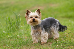 Cute small playful yorkshire terrier Royalty Free Stock Photography