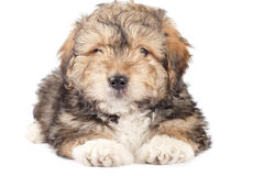 Cute small puppy Royalty Free Stock Images