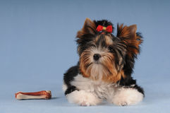 Cute small puppy with big bone Royalty Free Stock Image