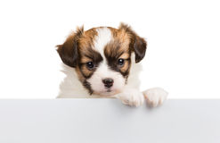 Cute small puppy Papillon leans on blank banner Royalty Free Stock Image