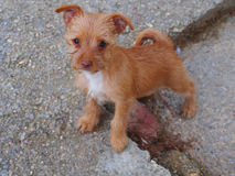 Cute small red-haired puppy. Spain Stock Photos