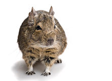 Cute small rodent Stock Photo