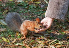 Cute small Squirrel Royalty Free Stock Images