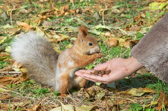Cute small Squirrel Royalty Free Stock Image