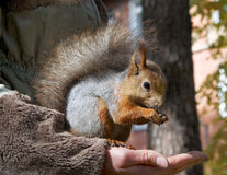 Cute small Squirrel Stock Photography