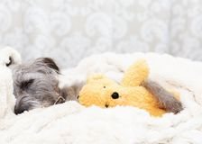 Tired Dog Sleeping With Teddy Bear Royalty Free Stock Image