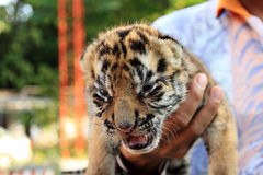 Cute Small Tiger Royalty Free Stock Images