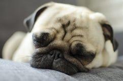 Cute small tired dog breed pug sleeping on sofa.  Royalty Free Stock Photography
