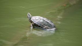Cute small turtle sitting in a green water pond in a national park stock video footage