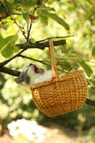 Cute small white and gray kitten resting in the basket Royalty Free Stock Images