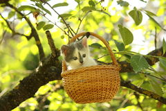 Cute small white and gray kitten resting in the basket Royalty Free Stock Photography
