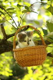 Cute small white and gray kitten resting in the basket Royalty Free Stock Photos