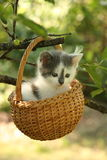 Cute small white and gray kitten resting in the basket Stock Image