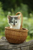 Cute small white and gray kitten resting in the basket Stock Photography