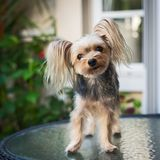 Cute small yorkshire terrier. Stock Image