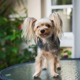 Cute small yorkshire terrier. Stock Images