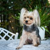 Cute small yorkshire terrier. Royalty Free Stock Photography
