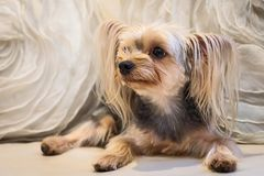 Cute small yorkshire terrier. Royalty Free Stock Photos