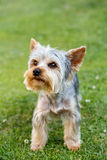 Cute small yorkshire terrier. On a green lawn outdoor, no people Royalty Free Stock Photos