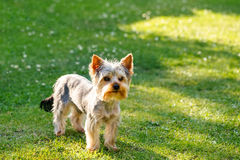 Cute small yorkshire terrier. On a green lawn outdoor, no people Stock Photography