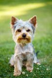 Cute small yorkshire terrier Royalty Free Stock Photos