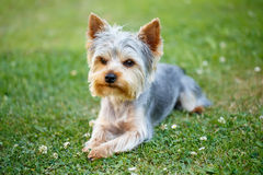Cute small yorkshire terrier Stock Images