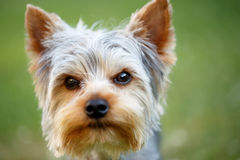 Cute small yorkshire terrier. Is lying on a green lawn outdoor, no people Royalty Free Stock Image