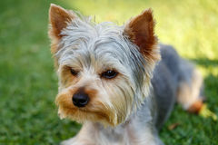 Cute small yorkshire terrier. Is lying on a green lawn outdoor, no people Royalty Free Stock Images