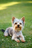 Cute small yorkshire terrier. Is lying on a green lawn outdoor, no people Stock Photography