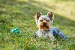 Cute small yorkshire terrier Royalty Free Stock Images