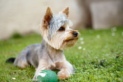 Cute small yorkshire terrier. Is lying on a green lawn outdoor, no peoplem with green ball Stock Photos